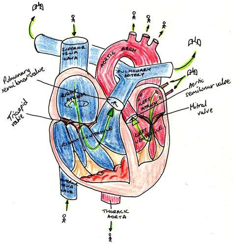 rr content  circulatory system