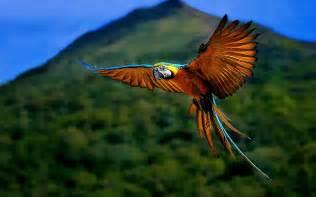 wallpaper birds wallpapers macaw bird wallpapers