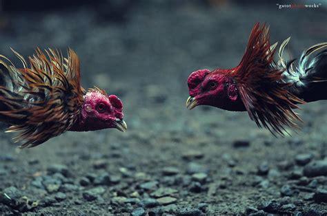 bandar sabung ayam terbesar berikan daun sirih