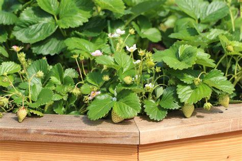 wie pflanze ich erdbeeren 4145 erdbeeren im hochbeet anpflanzen 187 so geht s