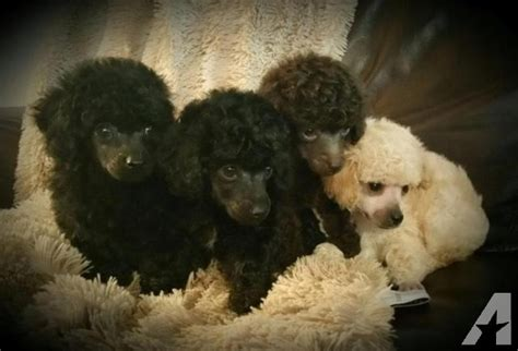 poodle puppies for sale in nc akc ckc poodle puppies for sale in graham carolina classified