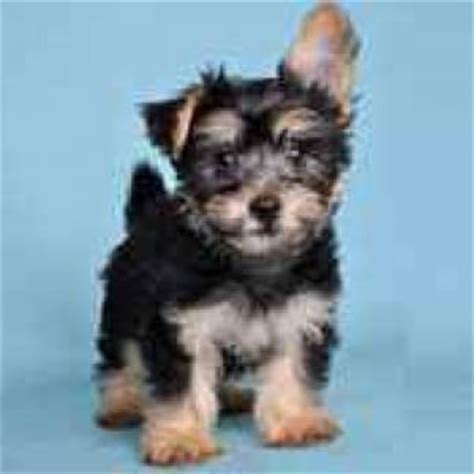 silky poo puppies silky poo breed information and facts