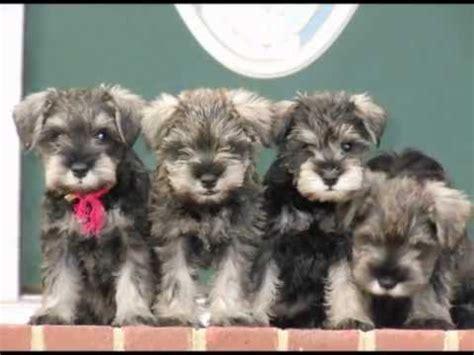 miniature schnauzer puppies for sale in va miniature schnauzer puppies for sale 2013 richmond hanover virginia