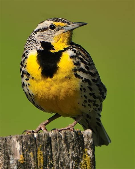 western meadowlark montana s state bird not only