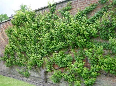 espalier fruit trees fruit tree espaliered algemene tuinidee 235 n