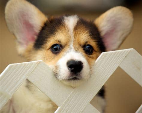 free corgi puppies corgi puppies 92 daniel stockman flickr