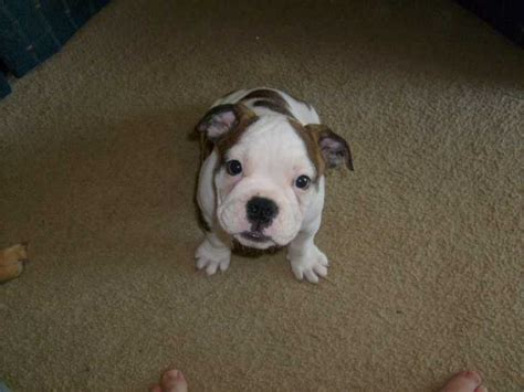 bulldog puppies for sale 500 bulldog puppies 500 00 quality bulldog puppies breeds picture