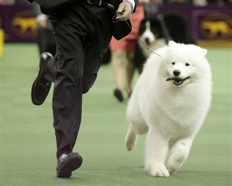 pressing in dogs many breeds yearn for 1st westminster best in show times free press