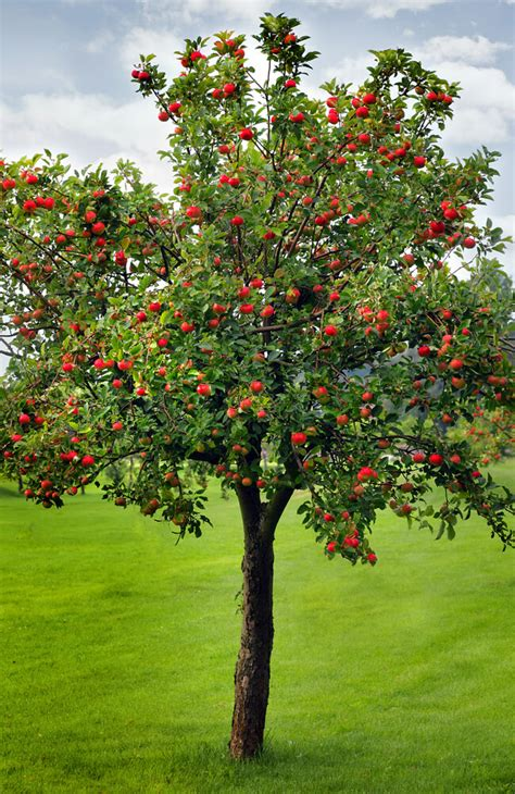 how to grow an apple tree plant instructions