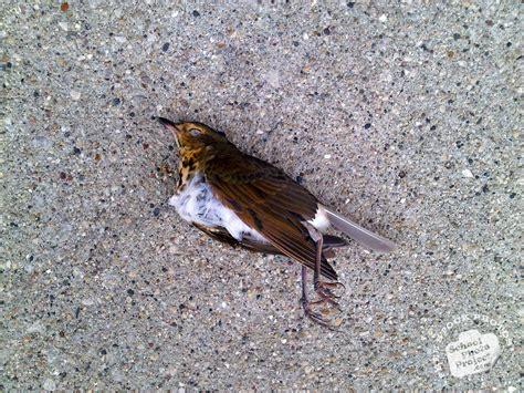 Sparrow Free Stock Photo Image Picture Dead Sparrow Dead Sparrow