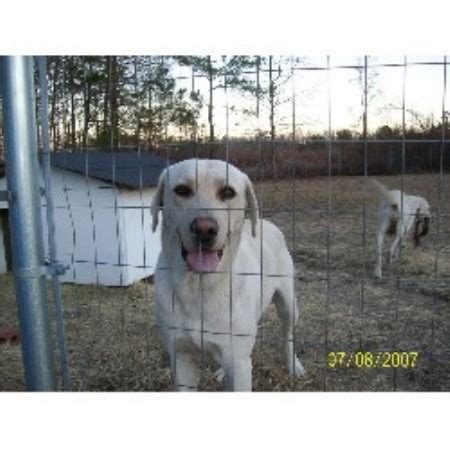 blooded lab puppies for sale in sc cross country kennels labrador retriever breeder in cross south carolina