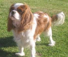 blenheim color seattle cavalier king charles spaniels