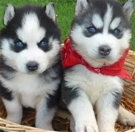 how much does a siberian husky puppy cost how much does siberian husky dogs cost