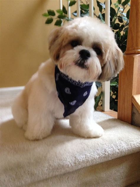haircuts for shih tzus males walter on haircut day 12months old shih tzu hairstyles