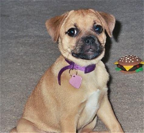 jug puppies jug terrier pug mix info temperament pet care puppies