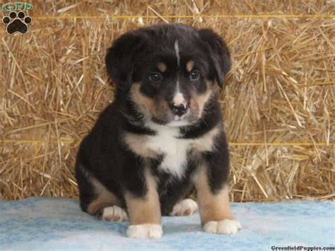 bernese mountain puppies for sale in pa bernese mountain mix puppies for sale in pa rottweiler mix
