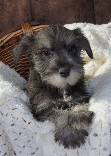 salt and pepper schnauzer puppies for sale miniature schnauzer puppies for sale salt and pepper color schnauzers