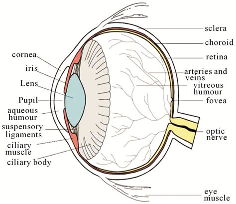 schematic section of the human eye printable human eye diagrams diagram site