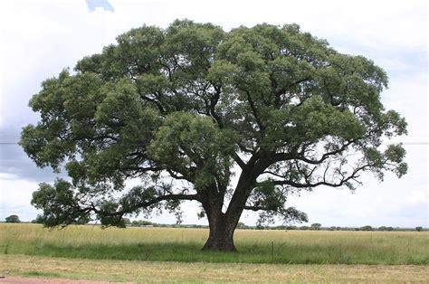 o tree in sclerocarya birrea