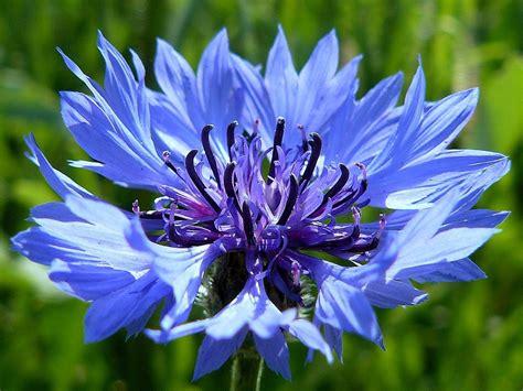 fiore fiordaliso buzzy 174 centaurea cyanus dubbelbloemig kopen tuincentrum nl
