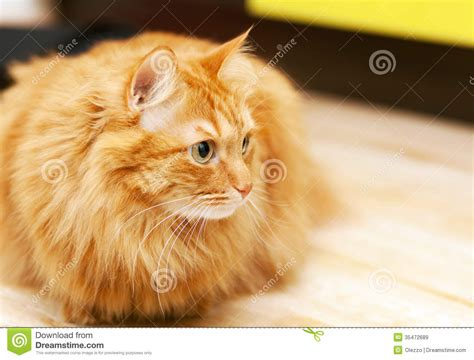Fluffy Ginger Cat Royalty Free Stock Images   Image: 35472689
