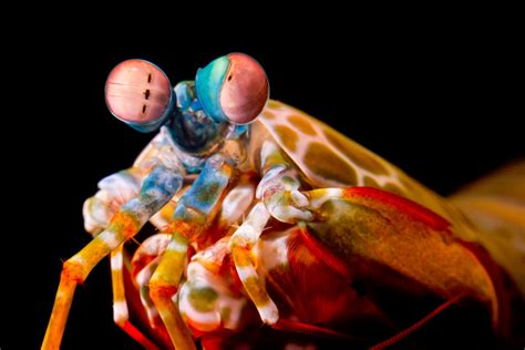 mantis shrimp colors mantis shrimp perfected the eye roll to better see