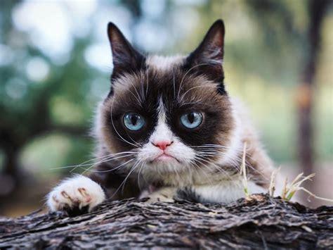 los gatos m 225 s famosos de los los gatos m 225 s famosos de internet 161 son unas estrellas grumpy cat la m 225 s gru 241 ona