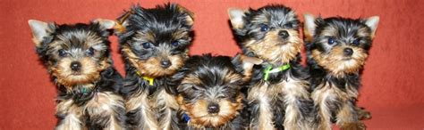 how do teacup puppies live teacup yorkie puppies for sale breeders terrier puppies