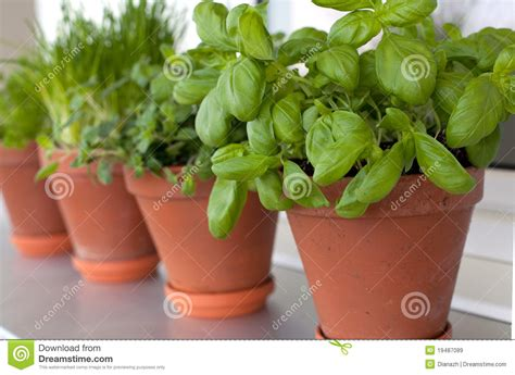 Growing Herbs On Windowsill Herbs Growing On Window Sill Royalty Free Stock Images