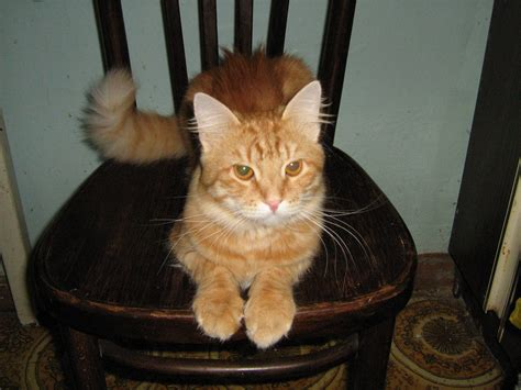 Cat Chair by File Cat At Chair Jpg Wikimedia Commons