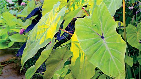 elephant s ear plant care southern living