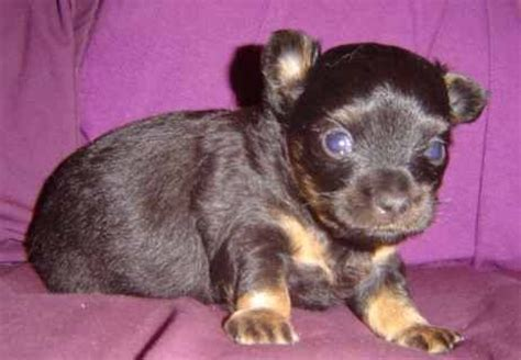 chihuahua puppies for sale in wv coated chihuahua puppy for sale adoption from lost city west virginia adpost