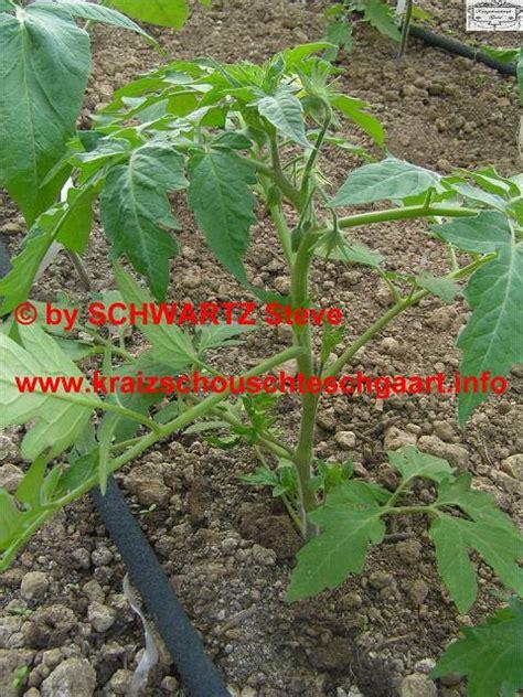 Tomaten Ausgeizen Anleitung 5184 by Tomaten Ausgeizen