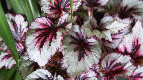 rex begonia care info houseplant central