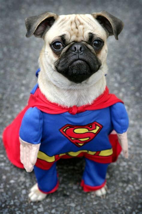 pug in superman costume of steel pug wearing superman costume photoshopbattles