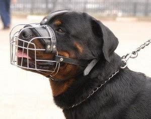 how to your not to chew things up wire cage muzzle to stop a rottweiler from biting chewing things up