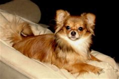 smooth coat mi ki puppies for sale smooth puppys and coats on