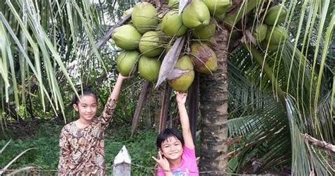 Benih Bunga Untuk Dijual jualan benih tanaman semua menjadi benih pokok kelapa