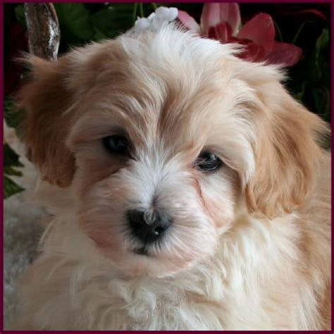 how much are maltipoo puppies maltipoo puppies for sale breeders mixed breed dogs