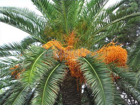 palm tree orange fruit palm tree with fruits image