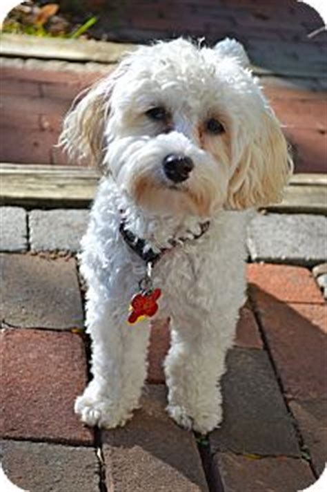 havanese miniature poodle mix miniature poodle havanese mix puppy for adoption in columbus ohio adoption