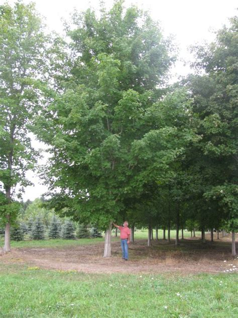 extra large trees for sale treemendous