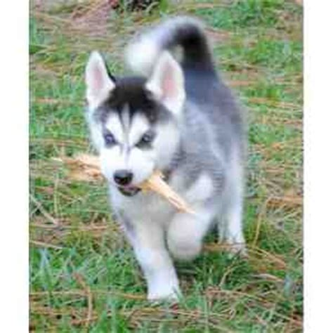 puppies columbus ga dogs columbus ga free classified ads