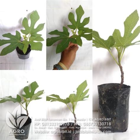 Bibit Stek Tin jual bibit buah tin green stek 15 cm agro bibit id