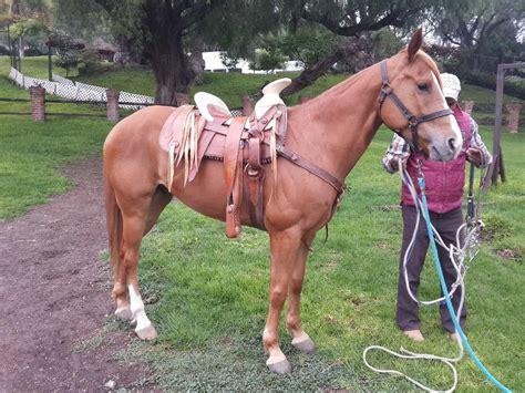 caballos cuarto de milla venta mercadolibre argentina caballo cuarto de milla con arabe 27 000 00 en mercado