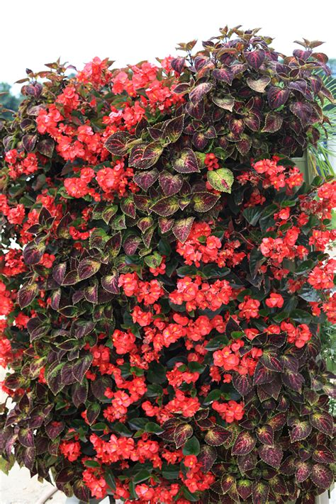 red begonia  purple coleus livescreen livewall green