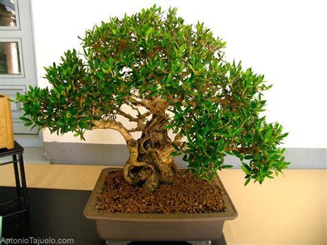 caring    bonsai plants