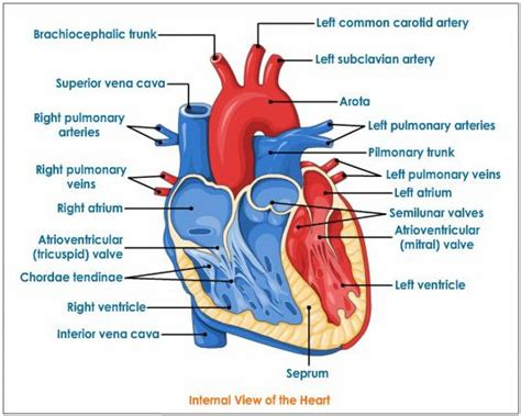 cardiac diagram the human labelled anatomy list