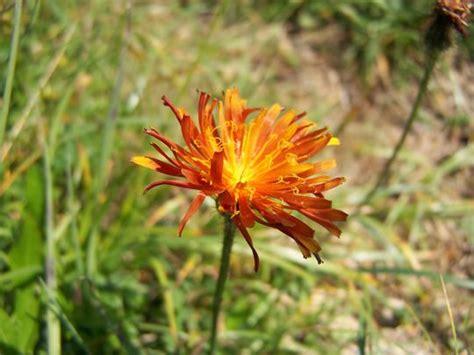 di fiori forni i fiori delle dolomiti friulane il portale turistico di