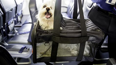 United Airlines In Cabin Pet Policy by Another Dies On A United Flight 5 Ways To Protect
